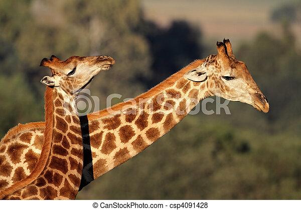 Interacción de jirafa - csp4091428