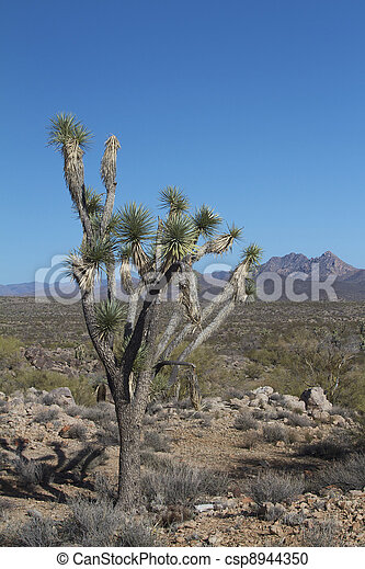 Joshua Tree in Desert - csp8944350