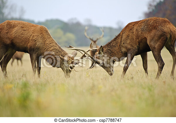 Jousting fighting red deer stags clashing antlers in Autumn Fall forest meadow - csp7788747