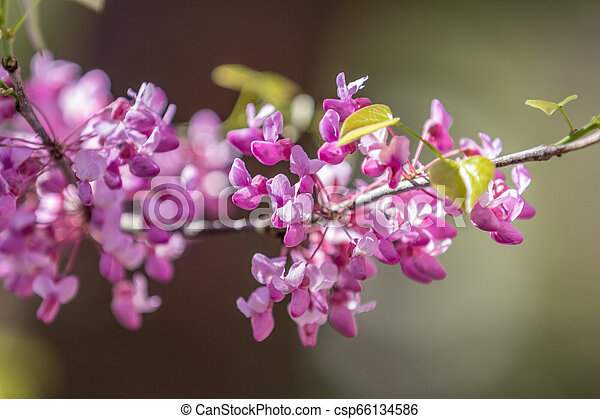 Closeup Of Pink Flower Clusters Of An Eastern Redbud Tree In Full