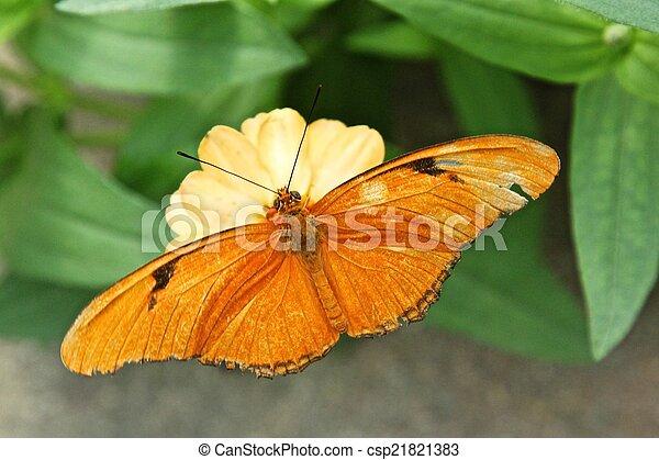 Julia Butterfly aka Dryas iulia - csp21821383