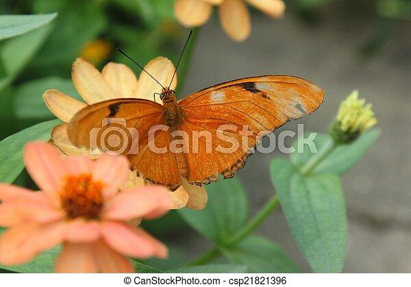 Julia Butterfly aka Dryas iulia - csp21821396