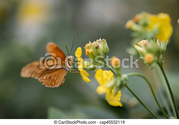 Julia butterfly lepidoptra nymphalidae butterfly on vibrant yellow flowers - csp45532119