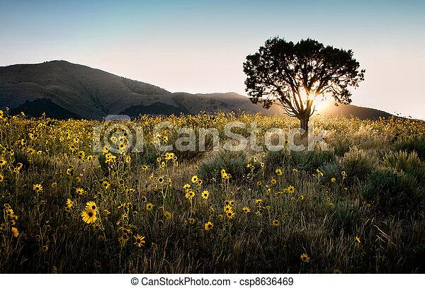 junípero, sol, árvore, através, girassóis, brilhar - csp8636469