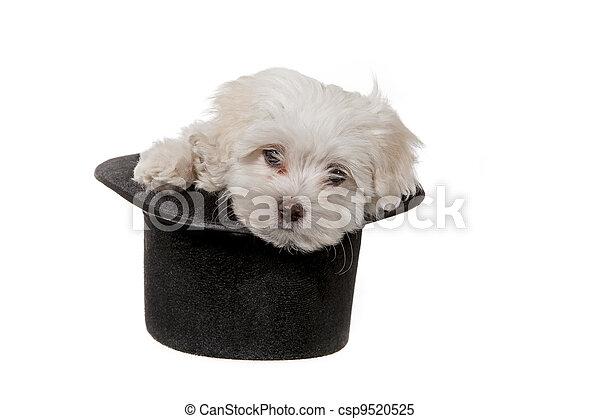 junger hund, hut - csp9520525
