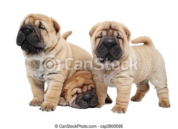 junger hund, sharpei, hund, drei - csp3800595