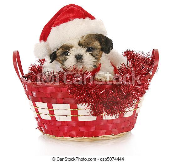 junger hund, weihnachten - csp5074444