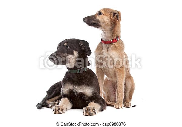 junger hund, zwei, whippet, hunden - csp6980376
