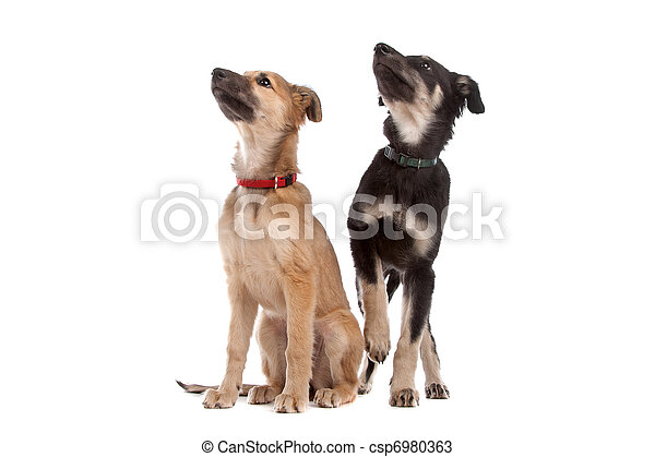 junger hund, zwei, whippet, hunden - csp6980363