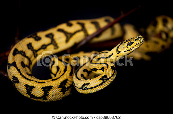 Jungle Jaguar Carpet Python On Black