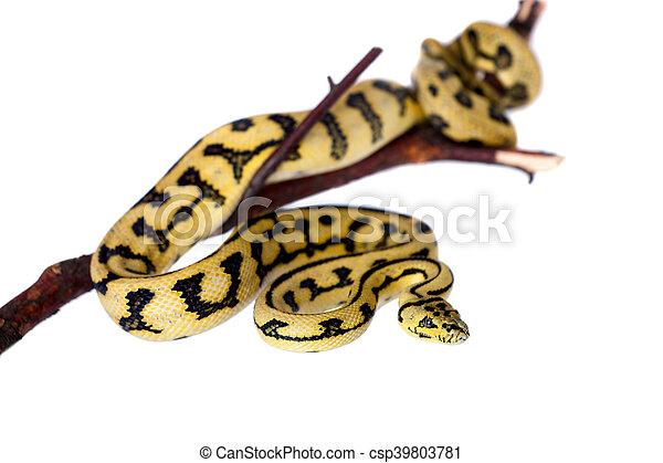 Jungle Jaguar Carpet Python on white - csp39803781