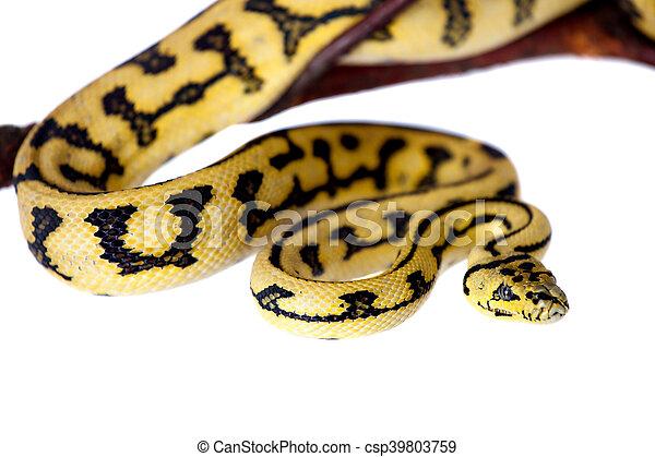 Jungle Jaguar Carpet Python On White