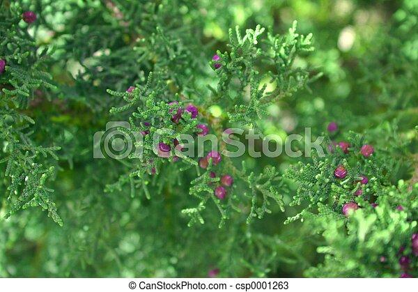 Juniper Berries 1 - csp0001263