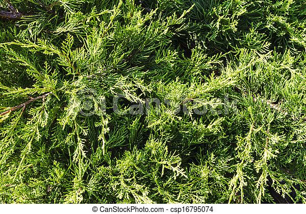 juniper branch - csp16795074