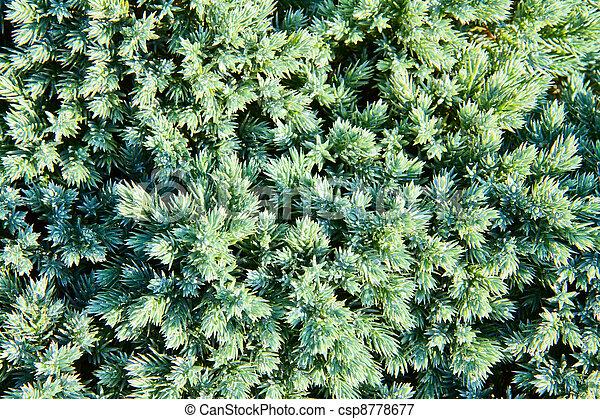 juniper branch - csp8778677