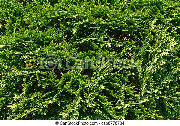 juniper branch - csp8778734