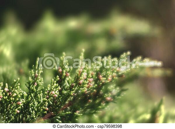 juniper tree bud - csp79598398