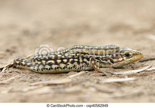 juvenile balkan wall lizard - csp40562949