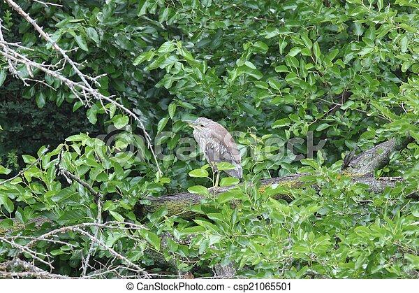 Juvenile black-crowned night heron - csp21065501