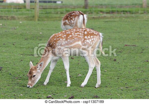 juvenile Fallow deer - csp11307189
