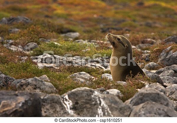 Juvenile Galapagos sea lion (Zalophus wollebaeki) - csp1610251