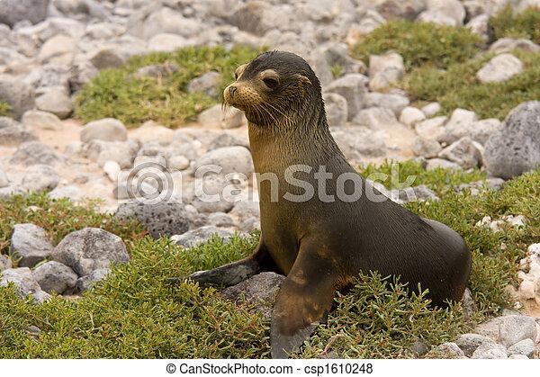 Juvenile Galapagos sea lion (Zalophus wollebaeki) - csp1610248