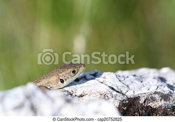 juvenile lacerta viridis hiding - csp20752825