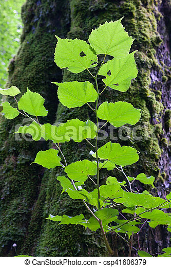 Juvenile linden tree branch with leaves closeup - csp41606379