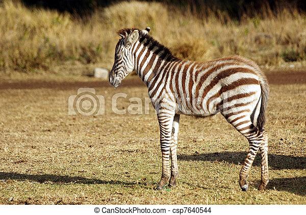 Juvenile wild zebra - csp7640544