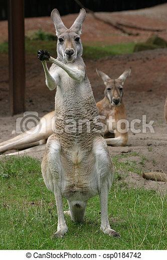 känguruhs - csp0184742