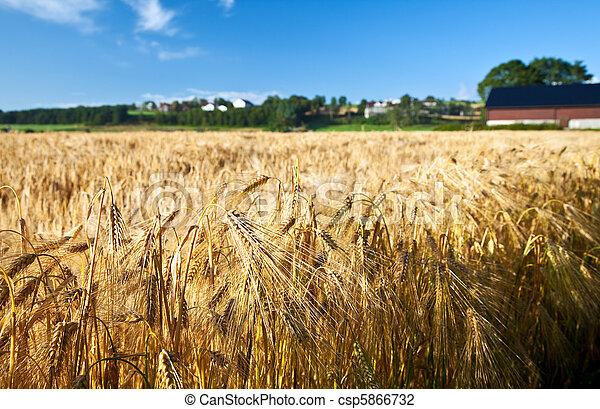 kék, nyár, búza, érett, rozs, ég, mezőgazdaság - csp5866732