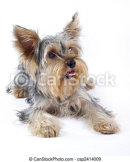 kép, closeup, felett, kicsi, terrier), (yorkshire, kutya, fehér - csp2414009