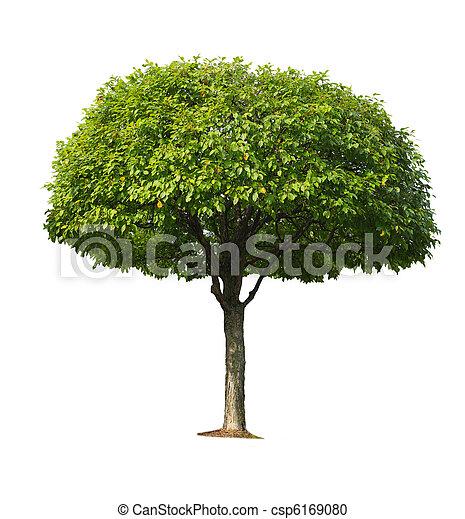 körsbär träd - csp6169080