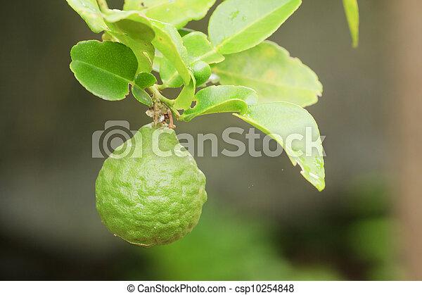 Kaffir Lime - csp10254848
