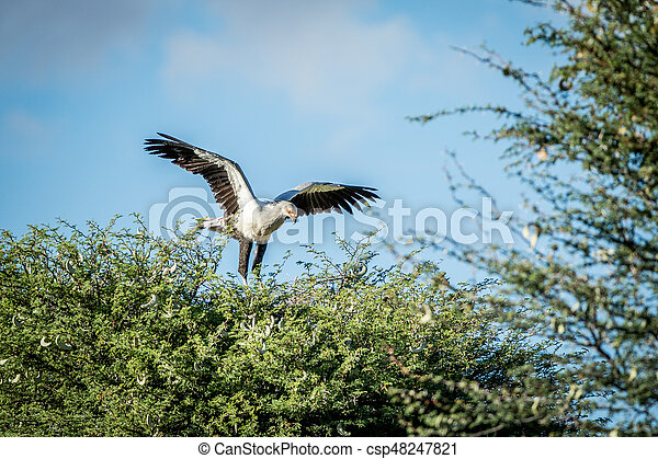 Pájaro secretario en un árbol en el Kalagadi. - csp48247821