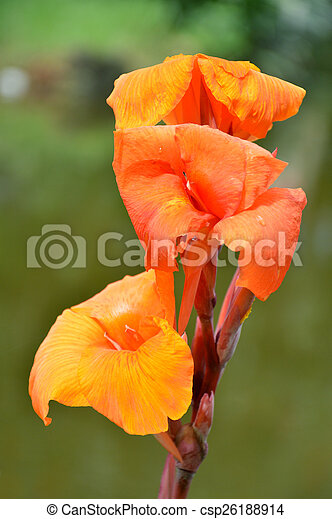Orange Kana Flowers Canna Lily Or Canna Indica On Natural Background