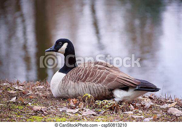 finest selection 9a538 3b446 kanada gans, vogel