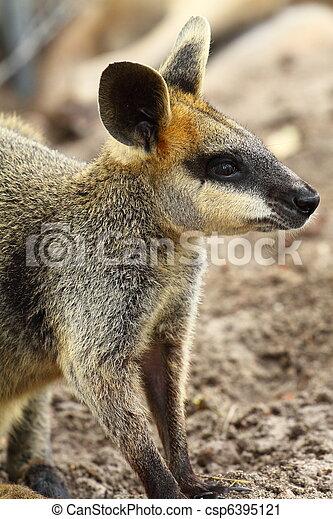 Kangaroo in Australia  - csp6395121