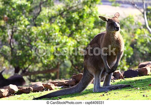 Kangaroo in Australia - csp6409331