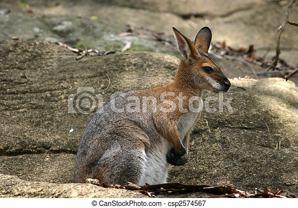 Kangaroo., marsupial., モデル,...