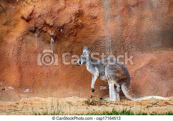 Kangaroo - csp17164513