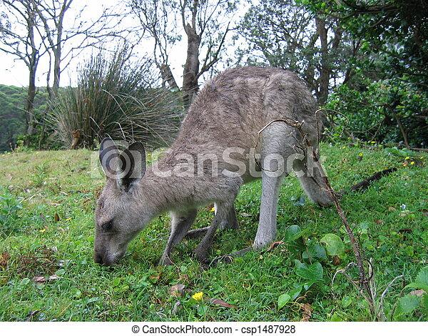 Kangaroo - csp1487928