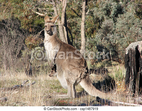 Kangaroo - csp1487919