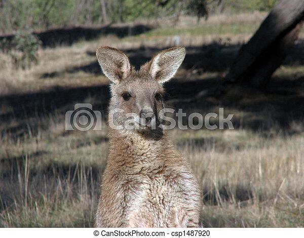 Kangaroo - csp1487920