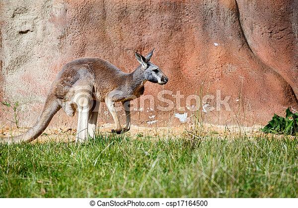 Kangaroo - csp17164500
