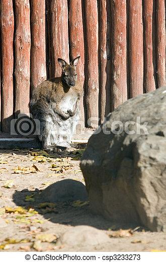 Kangaroo - csp3233273