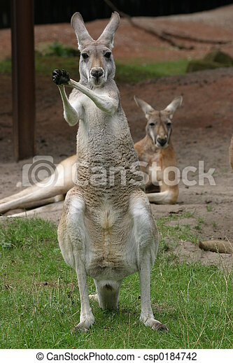 kangourous - csp0184742