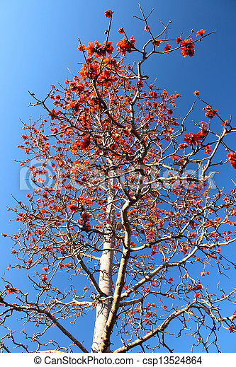 Kapok tree or Bombax ceiba found in Thailand