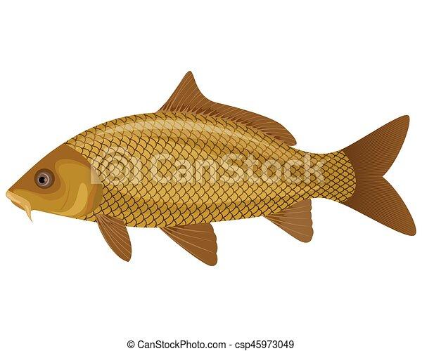 Kapr Fish Kapr Vektor Fish Ilustrace Plavani