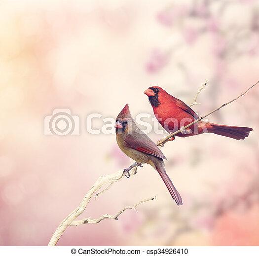 kardinalen, twee, noordelijk - csp34926410